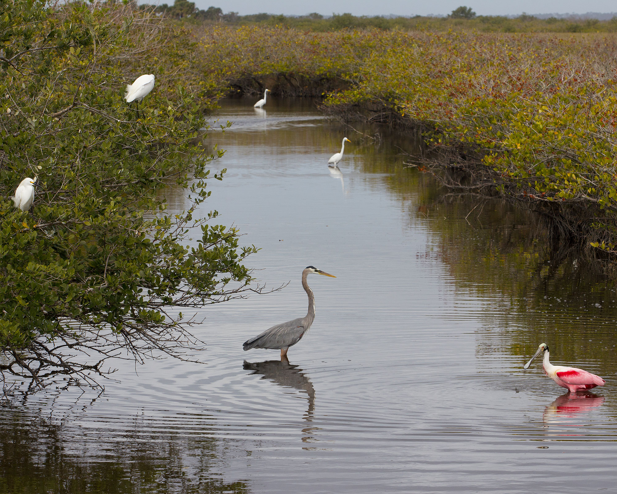 Great Blue Heron, Roseate Spoonbill, and Others
