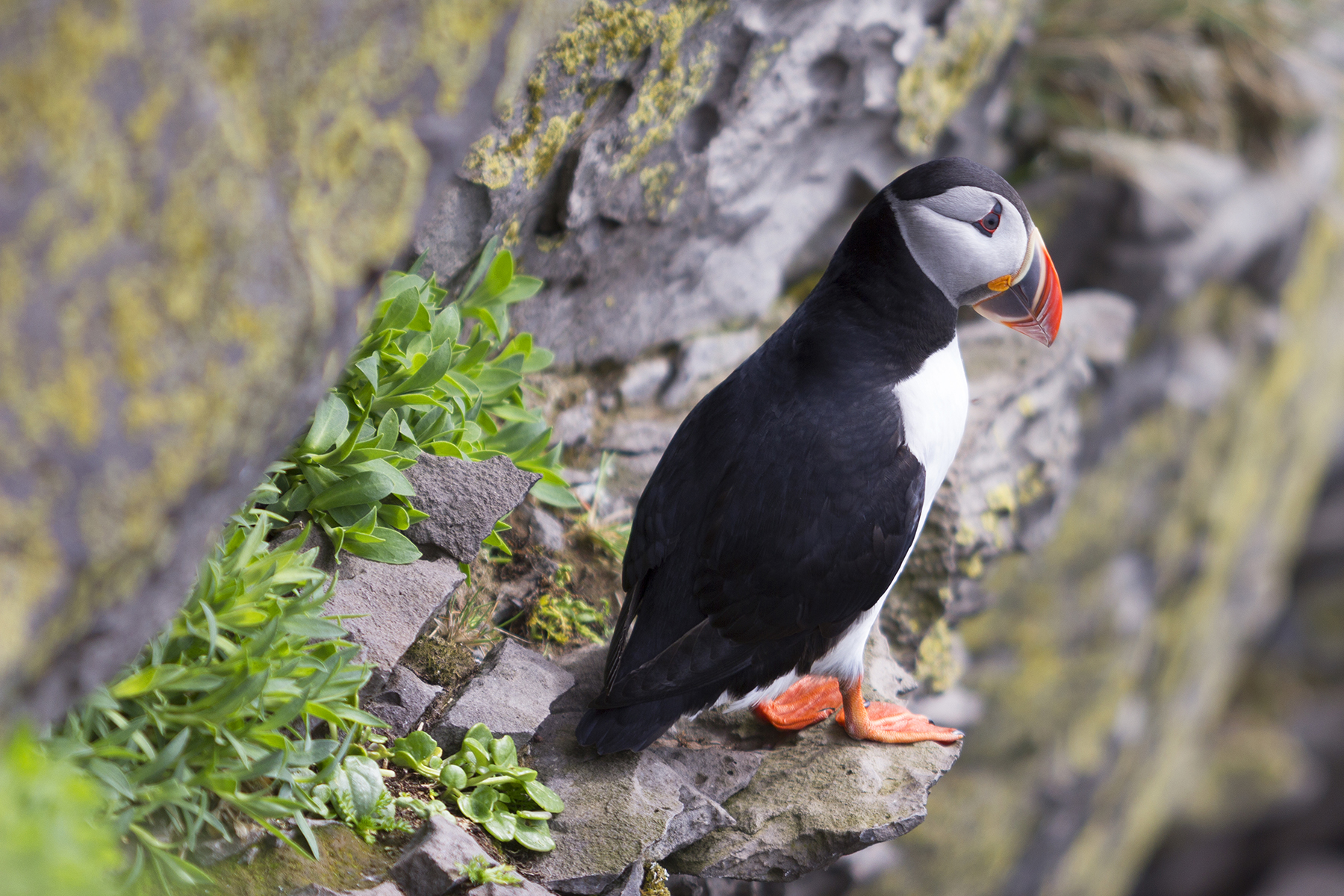 A puffin at Látrabjarg cliffs in Iceland